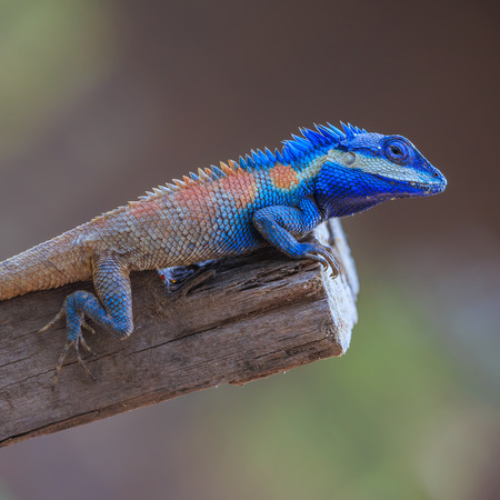 chameleon lizard: Lizard,dragon , Chameleon , Blue-crested Lizard , Indo-Chinese Forest Lizard  , Indo-Chinese Bloodsucker