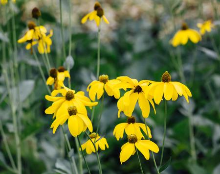 coneflower in the garden. Yellow flowers (Rudbeckia laciniata)