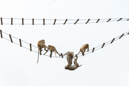 young monkey hanging on ropes against white background