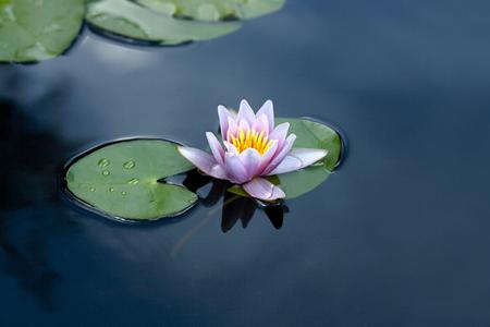 lirio de agua en el lago
