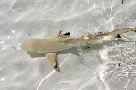 small sharks in the shallow water of the Maldives