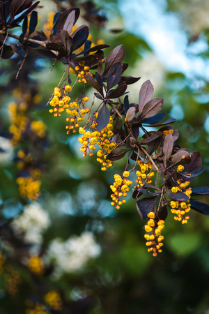 dicot: branch of a blossoming spring Berberis ottawensis with wasp