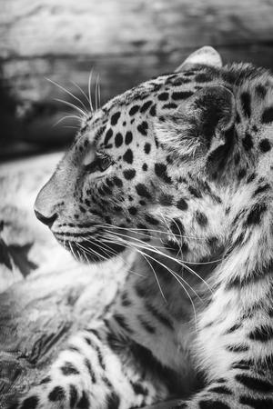 panthera pardus: leopard or Panthera pardus closeup black and white portrait Stock Photo