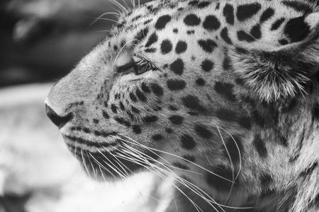 pardus: leopard or Panthera pardus closeup black and white portrait Stock Photo
