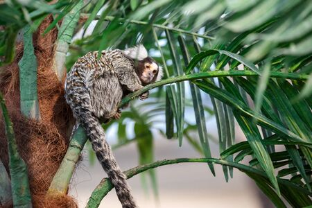 marmoset: Common marmoset or Callithrix sitting on a green branch Stock Photo
