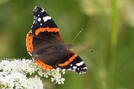 Red Admiral on flower