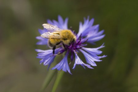 bluet: Macro shot of bumblebee on cornflowers