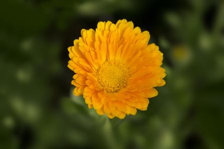 garden marigold: Orange calendula flower in the garden lawn