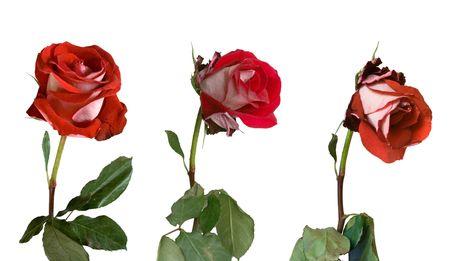 Drei Stufen der Welken einer Rose