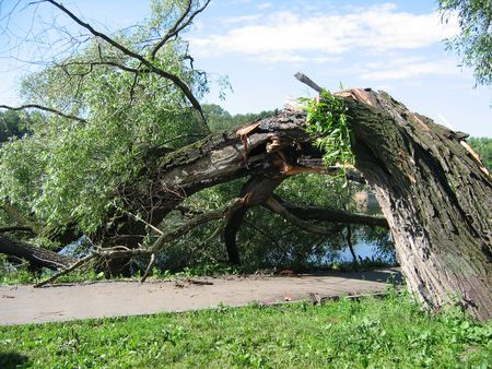 Broken tree after a storm