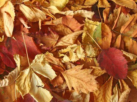 autmn: A pile of dry autmn leaves.