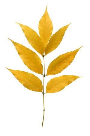amber coloured: Yellow ash leaf isolated over white background.
