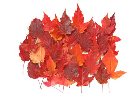 amber coloured: Composition of red autumn leaves on white background. Stock Photo