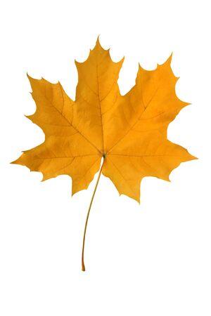 amber coloured: Yellow maple leaf isolated on white background.