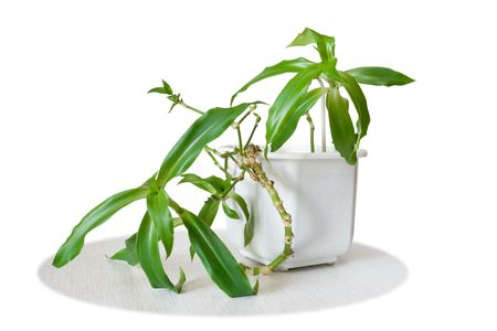 officinal: Medicinal plant Callisia fragrans isolated on white background Stock Photo