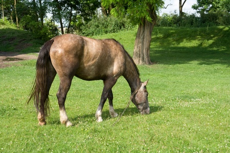 The horse grazing on a meadow. Photo is taken in Ukraine. photo