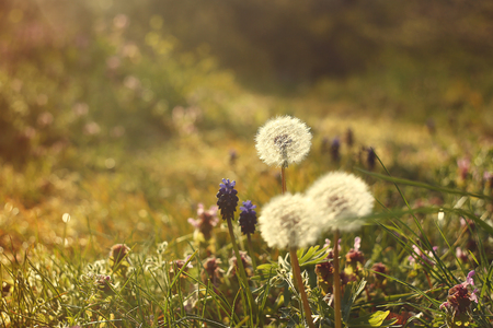 dandelion in the spring forest at sunset photo