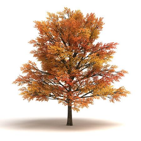 maple tree: Maple Tree  isolated white