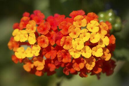 lantana: Lantana Camara Flower Stock Photo