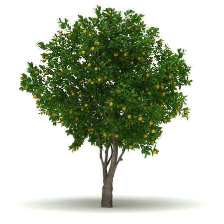 Single Citrus Sinensis Tree isolated on white background  photo