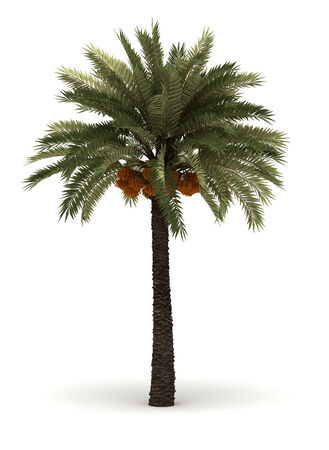 dactylifera: Single Palm Phoenix Dactylifera isolated on white background