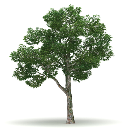 single tree: Single Platanus Tree isolated on white background