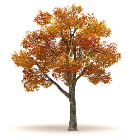 Single Platanus Tree isolated on white background