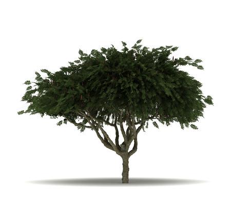 staghorn: Single Staghorn Sumac Tree
