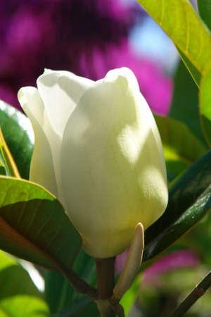 White Magnolia Blossom closeup springtime Stock Photo