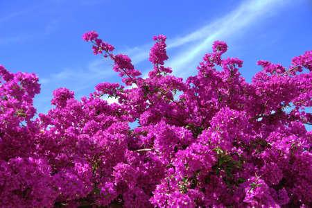 Pink Bougainvillea Flowers (bougainvillea spectabilis) Stock Photo