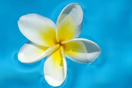 White Plumeria on pool (Frangipani flower) Stock Photo