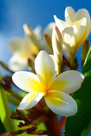 White Plumeria Flower (Frangipani flower)