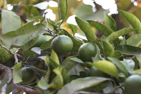 Green fruits of tangerines on a branch.