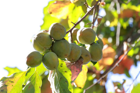 Ripening persimmon on a tree branch. Unripe fruit.