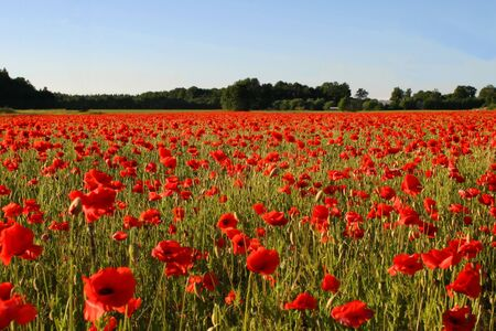 Big beautiful field with poppies in Estonia Stock Photo