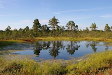 Three old pines in the middle of a bog Stock Photo