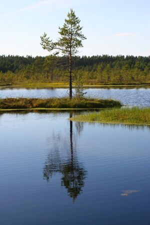 morass: Small island with a pine in the middle of a bog