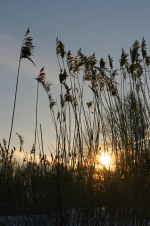 Dark silhouette of reed on a sunset on the river