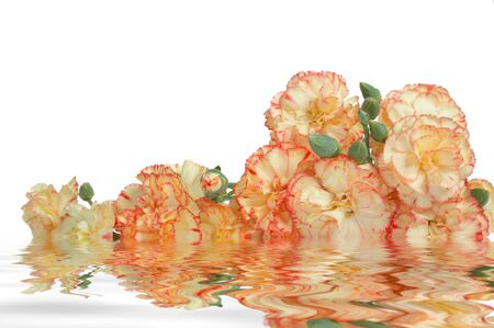 Beauty multicolored carnations in water, isolated on white