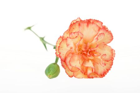 Beauty multicolored carnation isolated on white Stock Photo