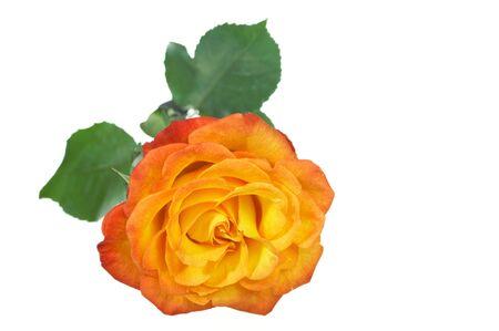 A single fresh Beautiful Tea rose