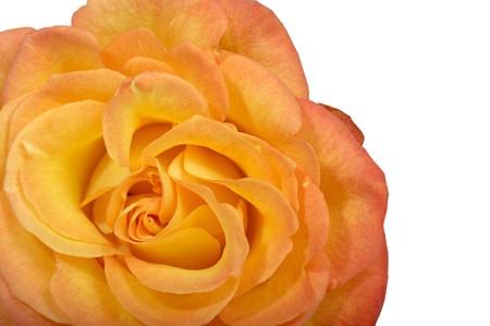 Macro image of Yellow rose Stock Photo