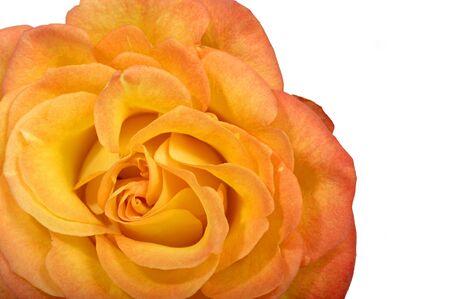 Macro image of Tea rose photo