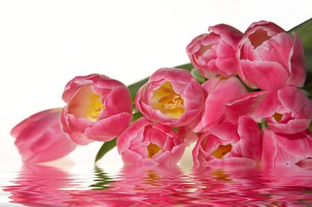 Pink spring fresh tulips in water, isolated on white