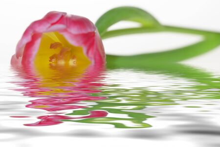 Pink spring fresh tulip in water, isolated on white Stock Photo