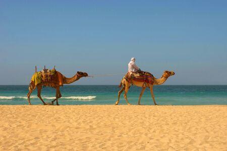 camello: Errantes beduinos en camello pasa por una playa