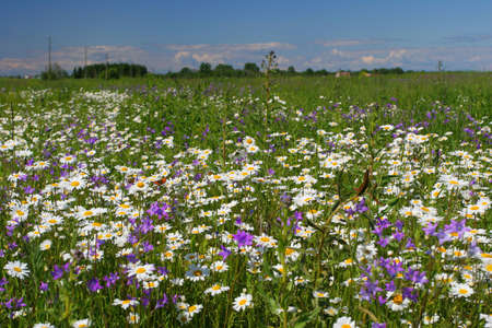Field full of chamomiles, butterflies and other flowers