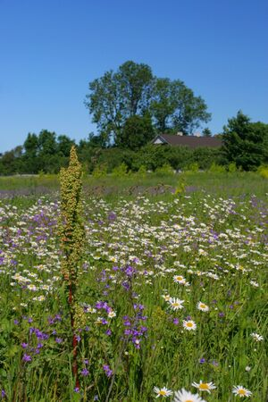 Field full of chamomiles, butterflies and other flowers photo