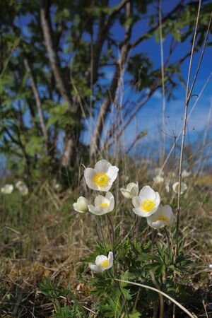 First spring wild flowers Windflower (Anemone) Stock Photo