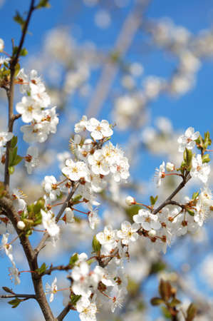 Cherry tree blossoming close-up Stock Photo